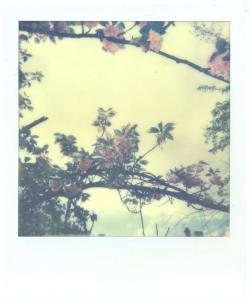 Polaroid d'un arbre en fleur