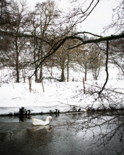 Un cygne en hiver à Ortheuville