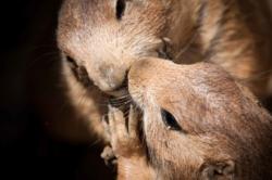 Des chiens de prairires se font un bisou au zoo