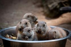 Des chiens de prairie au zoo