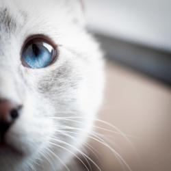 L'oeil de mon chat Opie