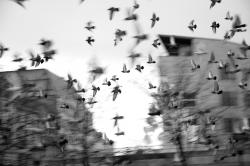 Envolée de pigeons à Liège