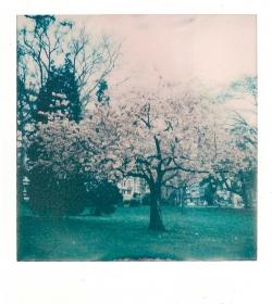 Polaroid d'un cerisier du Japon