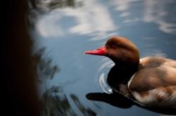 Un canard au doux regard