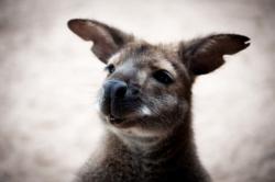 Un wallaby au zoo