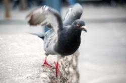 L'envol d'un pigeon à Liège