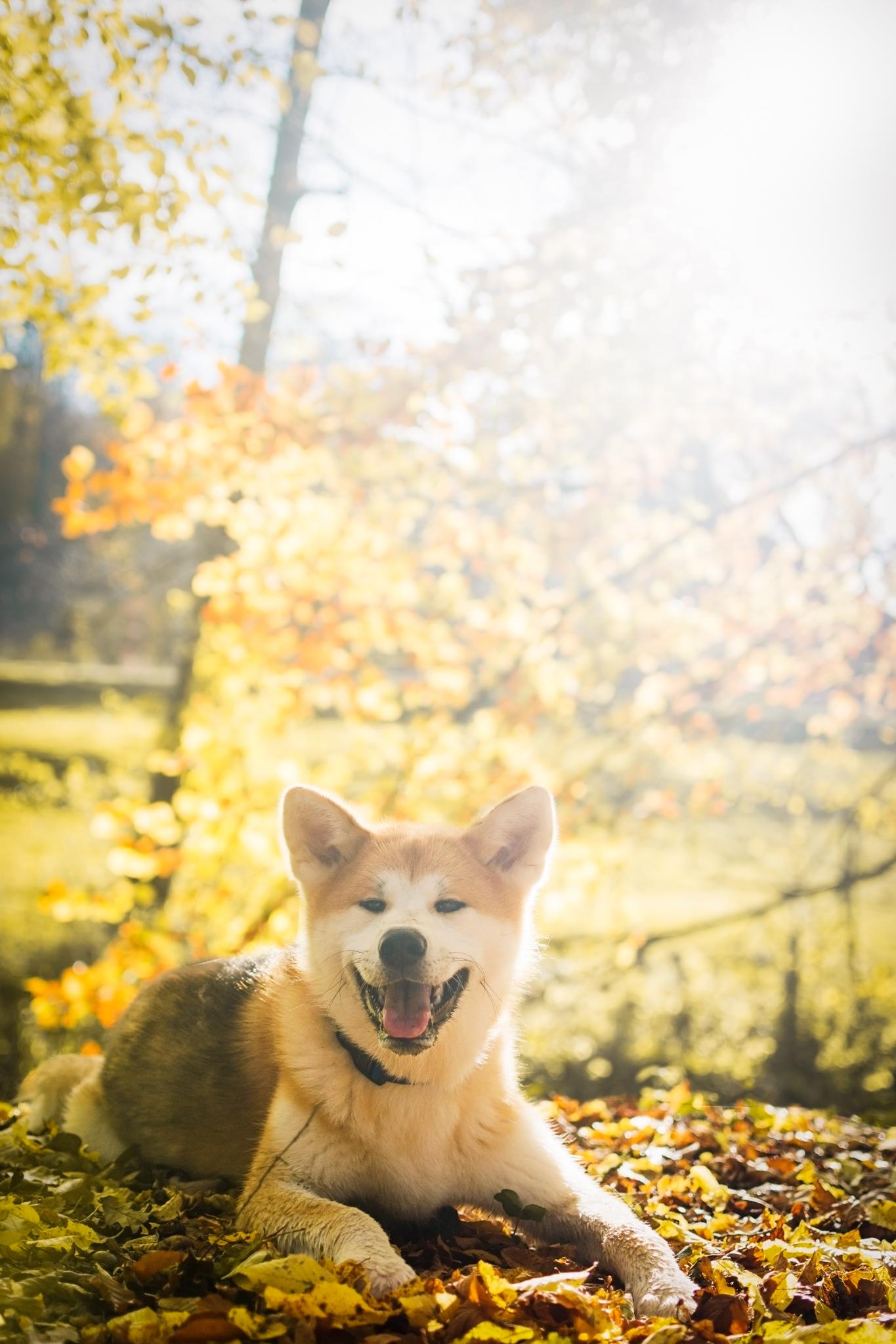 Chien Akita Inu en automne avec du soleil