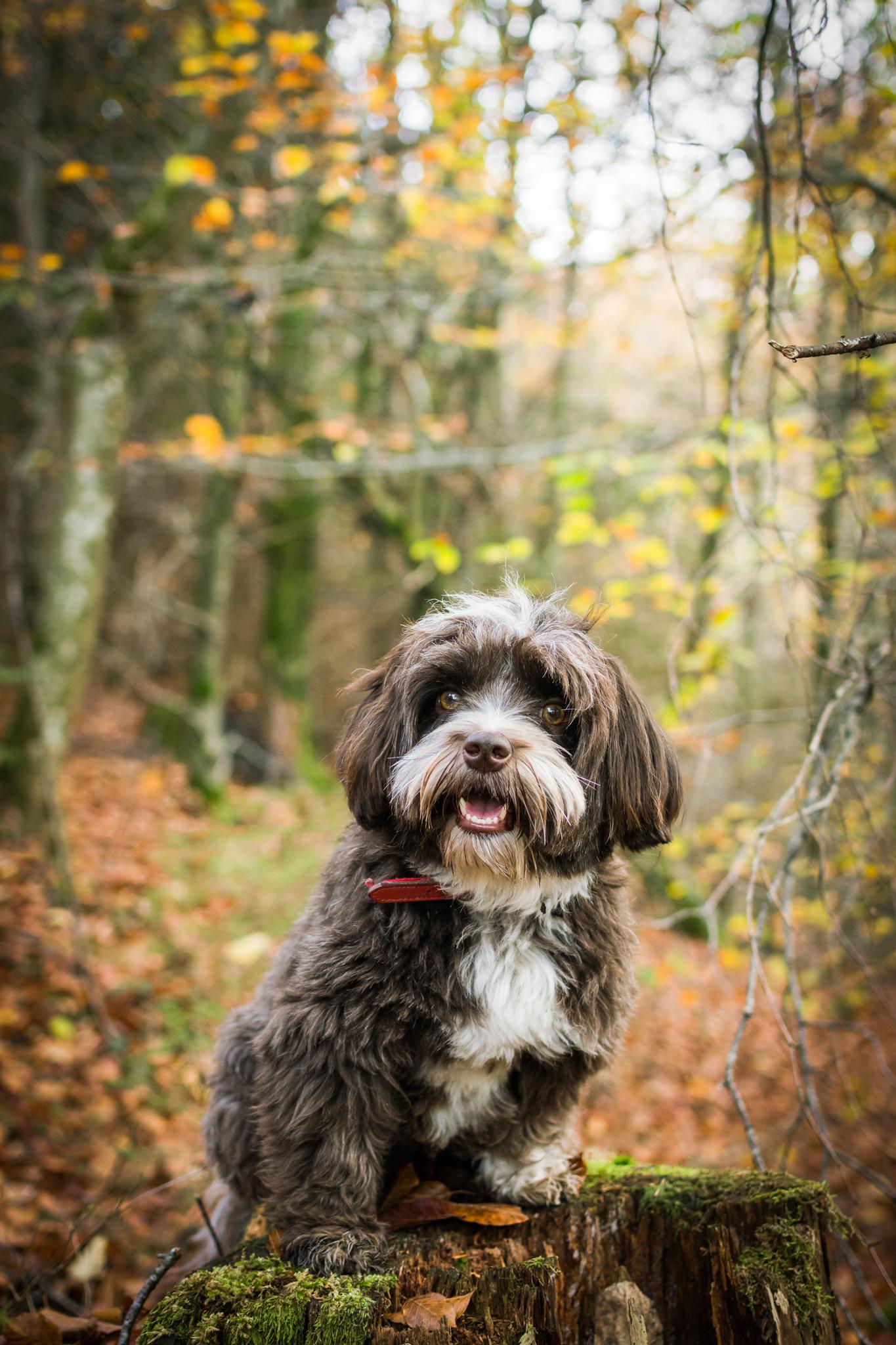 Petit chien dans la forêt sur un tronc d'arbre en automne
