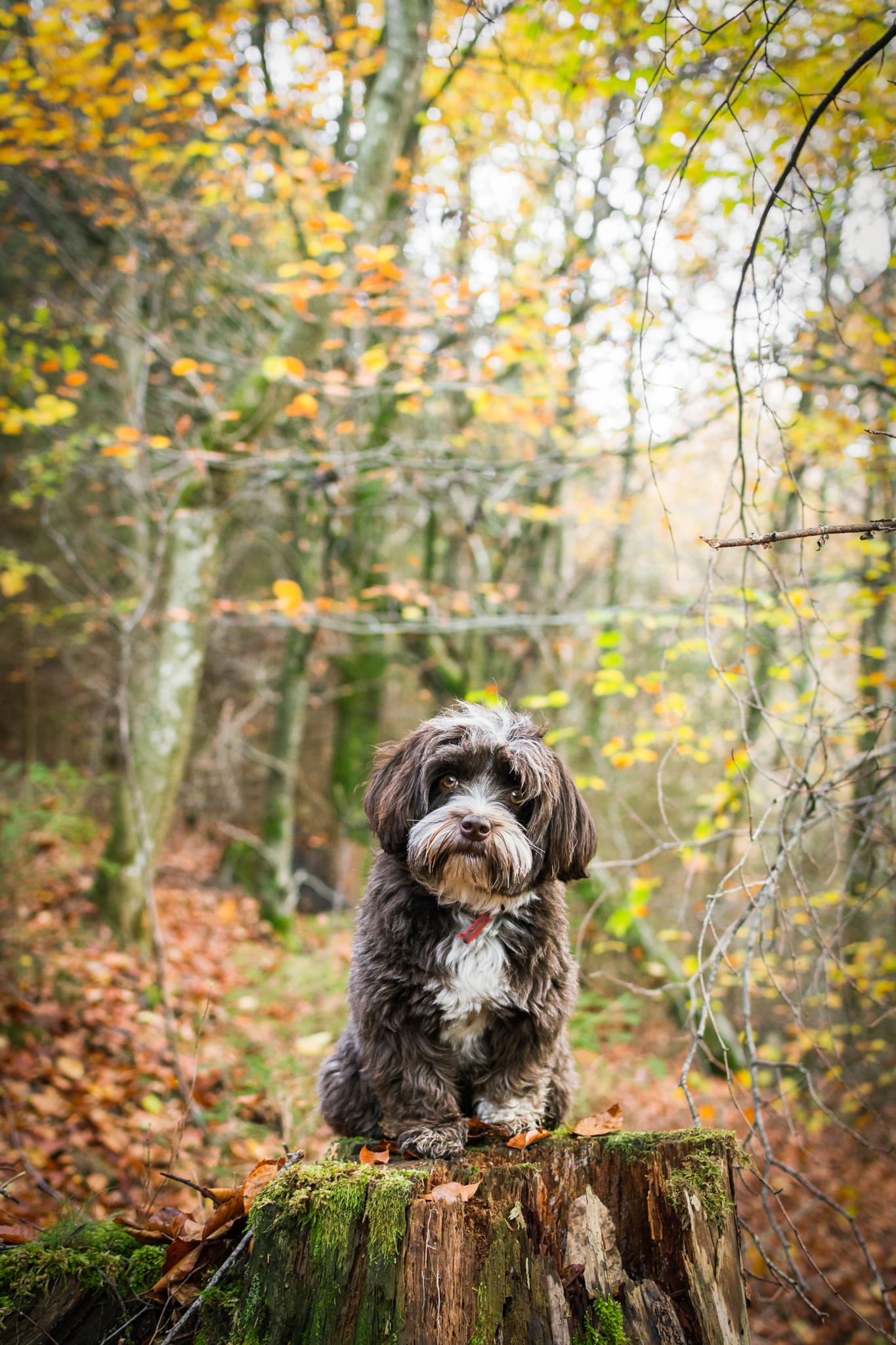 Petit chien brun sur tronc d'arbre dans la forêt
