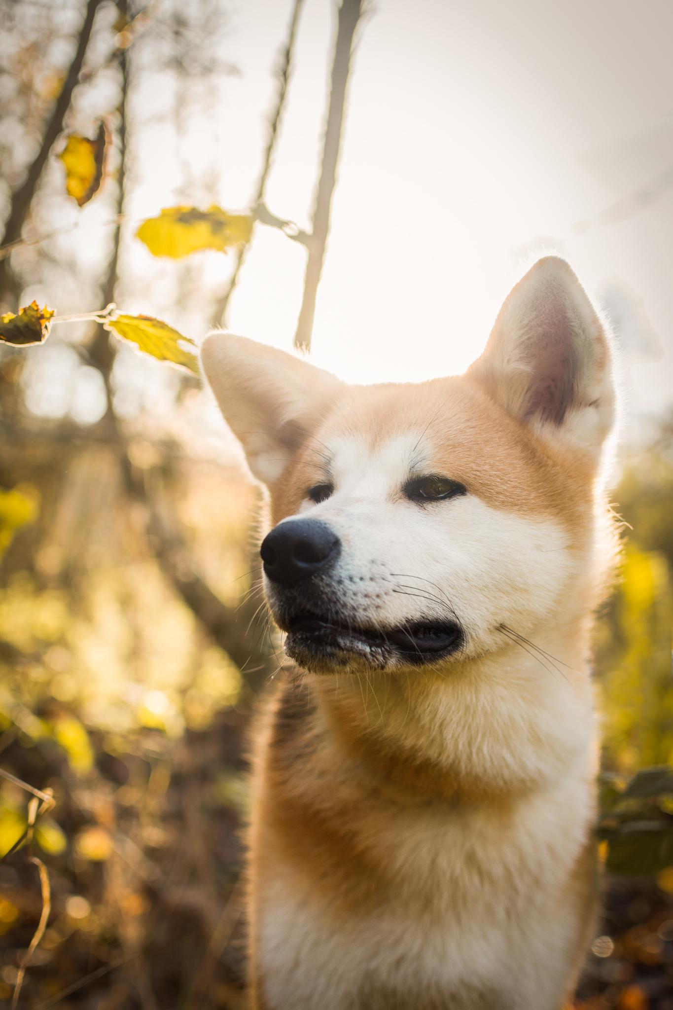 Portrait de chien Akita Inu